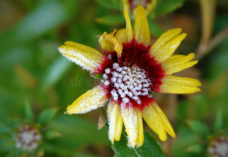 Blume mit Reif lizenzfreie stockfotos