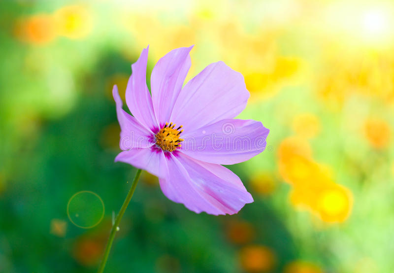 Blume mit Sonnelichtstrahl lizenzfreie stockbilder