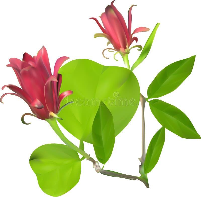 Blume mit zwei Rottönen in den Grünblättern lokalisiert auf Weiß lizenzfreie abbildung