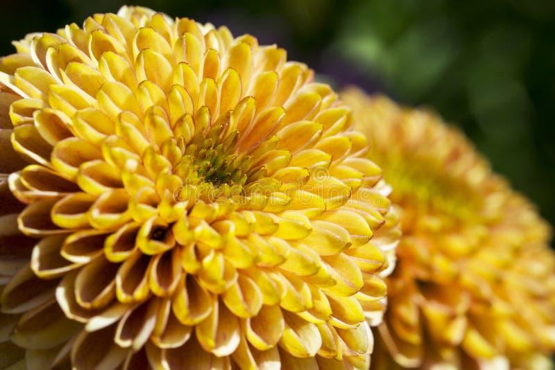 Blume orange Aster Callistephus chinensis stockfotografie