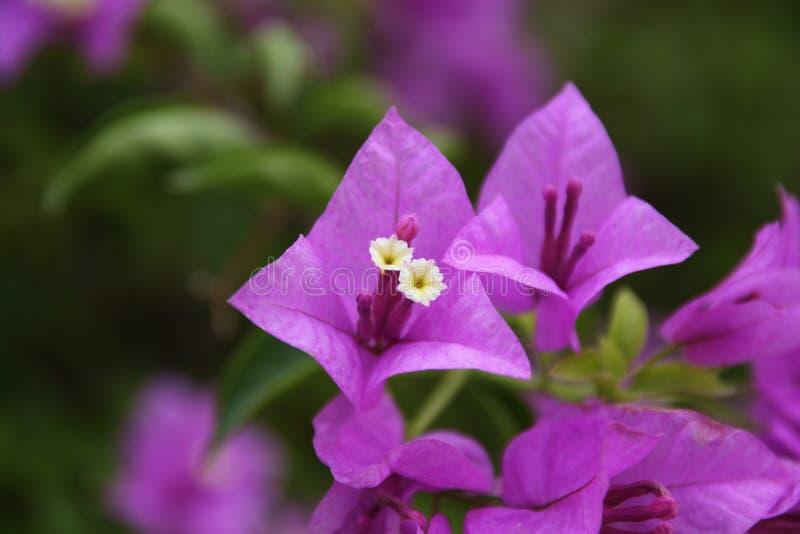 Blume paperflower lizenzfreies stockfoto