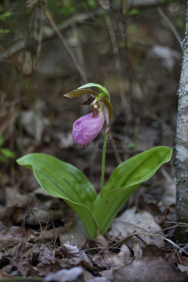 Blume rosa Dame Slipper lizenzfreie stockfotografie