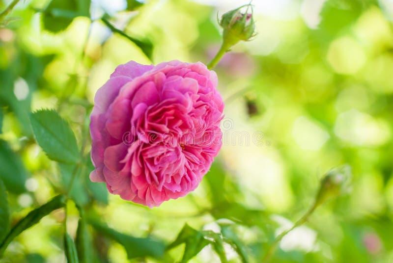 Blume Rosarosen-de Rescht stockfotografie