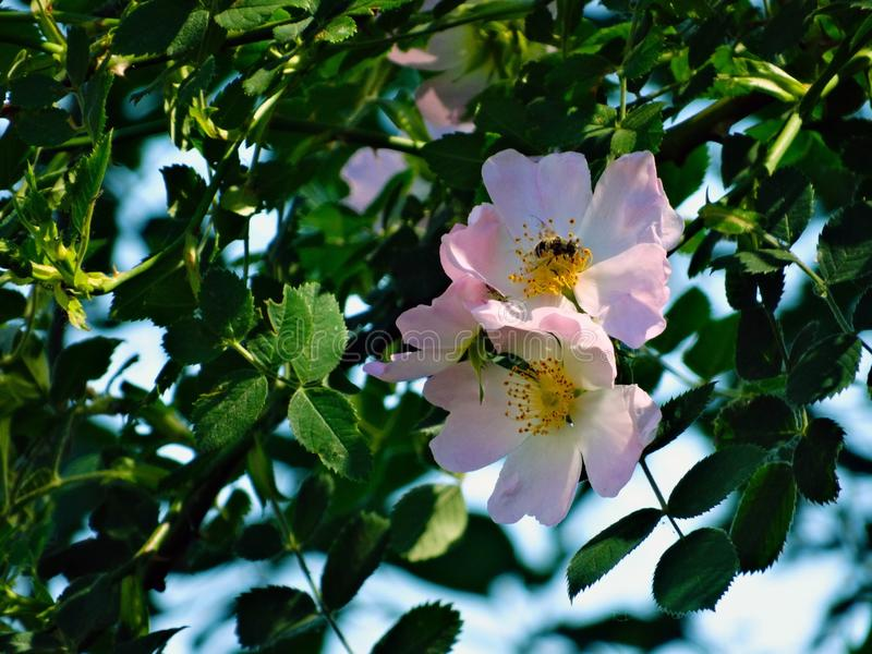 Blume, Rose Family, Rosa Canina, Anlage lizenzfreie stockfotografie