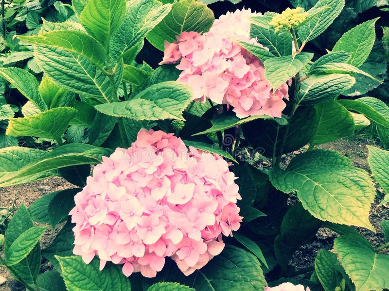 Blume Rosen-Hortensie lizenzfreie stockfotos