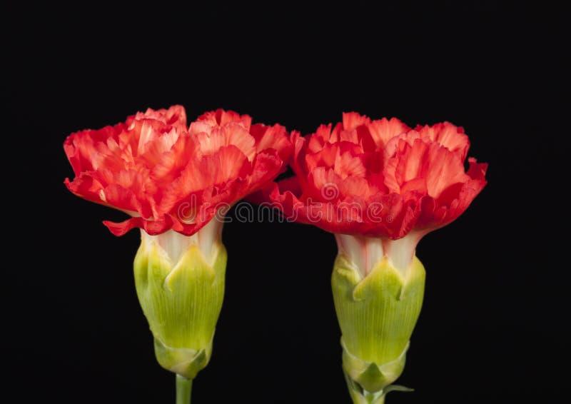 Blume roten Gartennelke Dianthus caryophyllus lokalisiert auf schwarzem Hintergrund stockfotografie