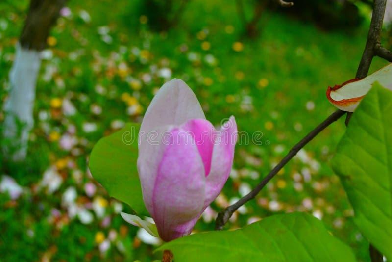 Blume, Schönheit und Farbe des Rosas, rosa stockbild
