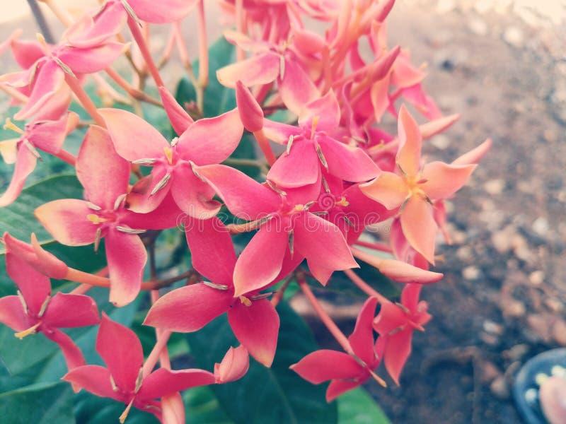 Blume stieg lizenzfreie stockfotos