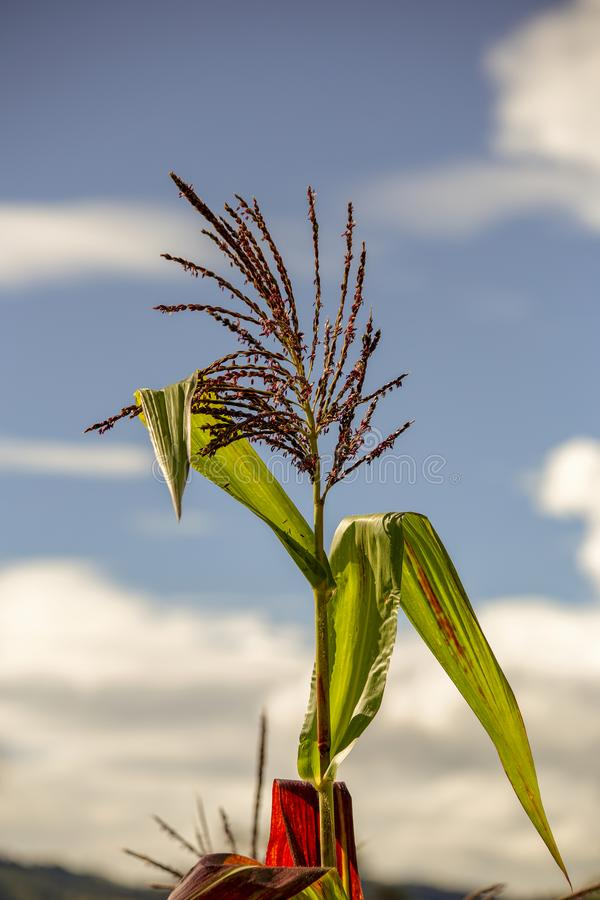 Blume und Bl?tter einer Maispflanze lizenzfreies stockfoto