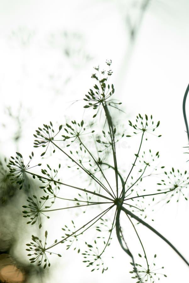 Blume und Dill pflanzen die Nahaufnahmesamen und wachsen im Garten stockbilder