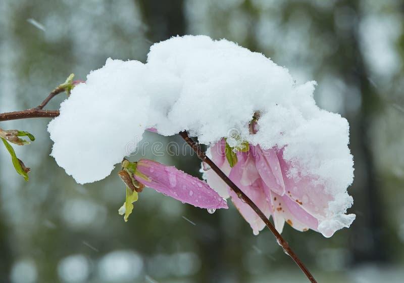 Blume und Knospe von rosa Magnolien im Schnee lizenzfreie stockfotos