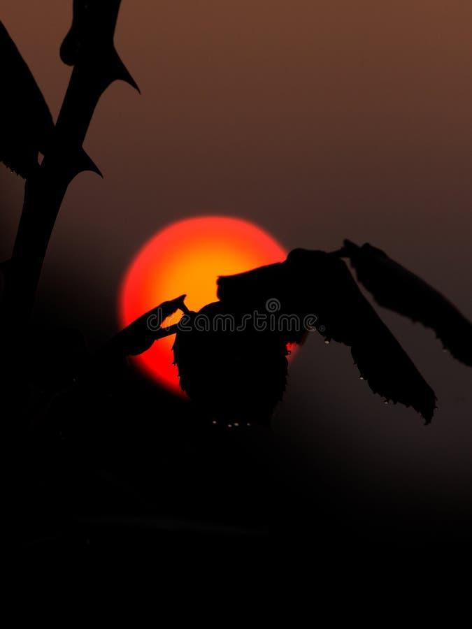 Blume verzweigt sich Schattenbild im Sonnenaufgang lizenzfreies stockfoto