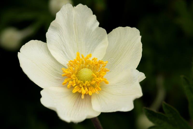 Blume von Anemone sylvestris lizenzfreie stockfotografie