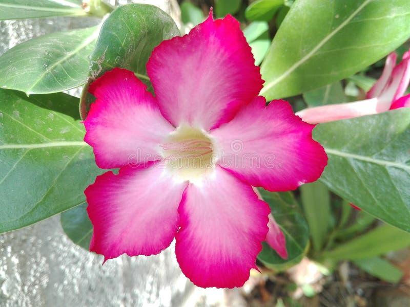 Blume von araliya stockfoto