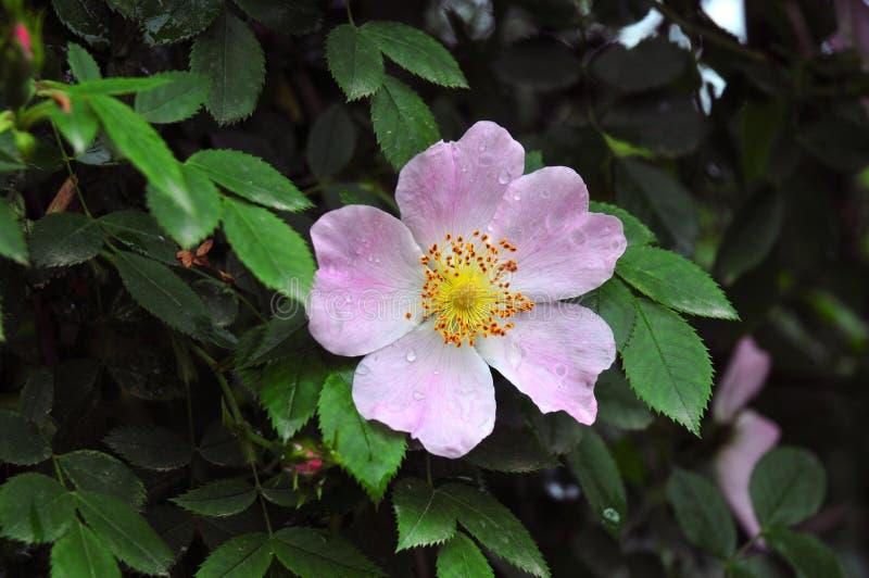 Blume von Brier stockfotografie