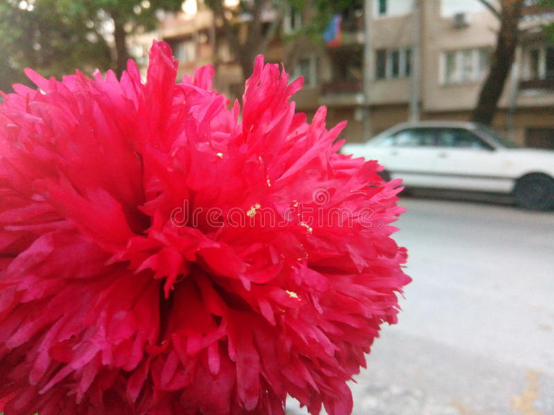 Blume von Bulgarien lizenzfreies stockbild