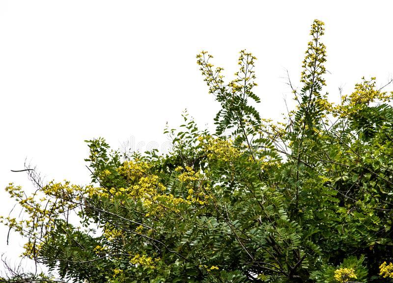 Blume von Cassia Tree mit weißem Himmelhintergrund stockbilder