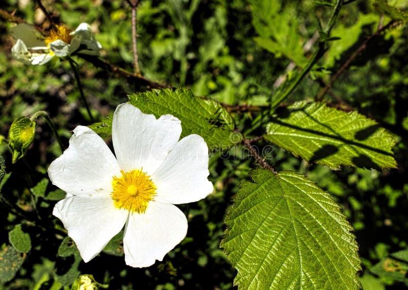 Blume von Cistus stockbild