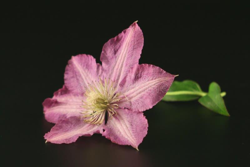 Blume von Clematis stockbilder