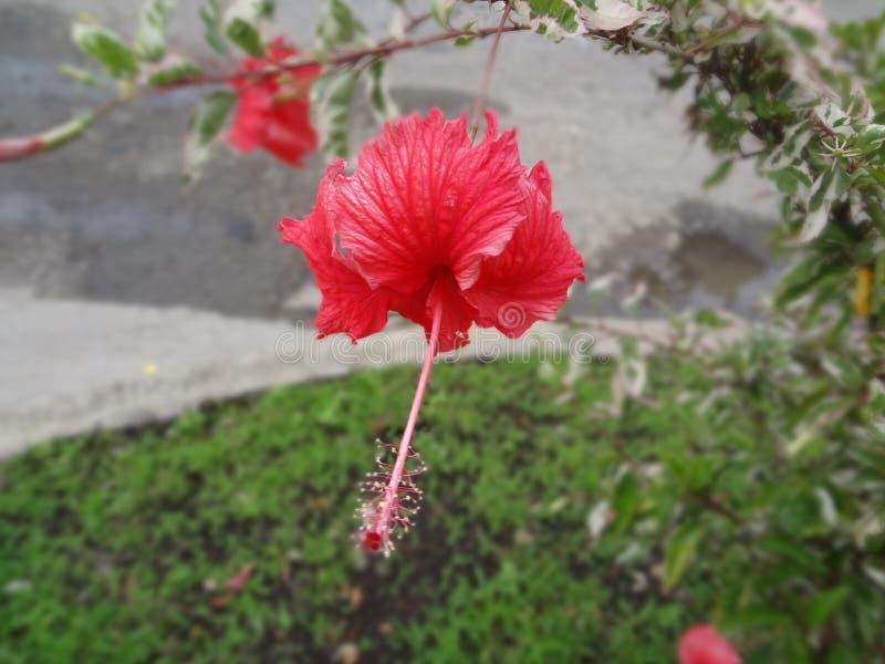 Blume von El Salvador stockfotografie