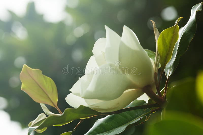 Blume von Ficus elastica lizenzfreies stockbild