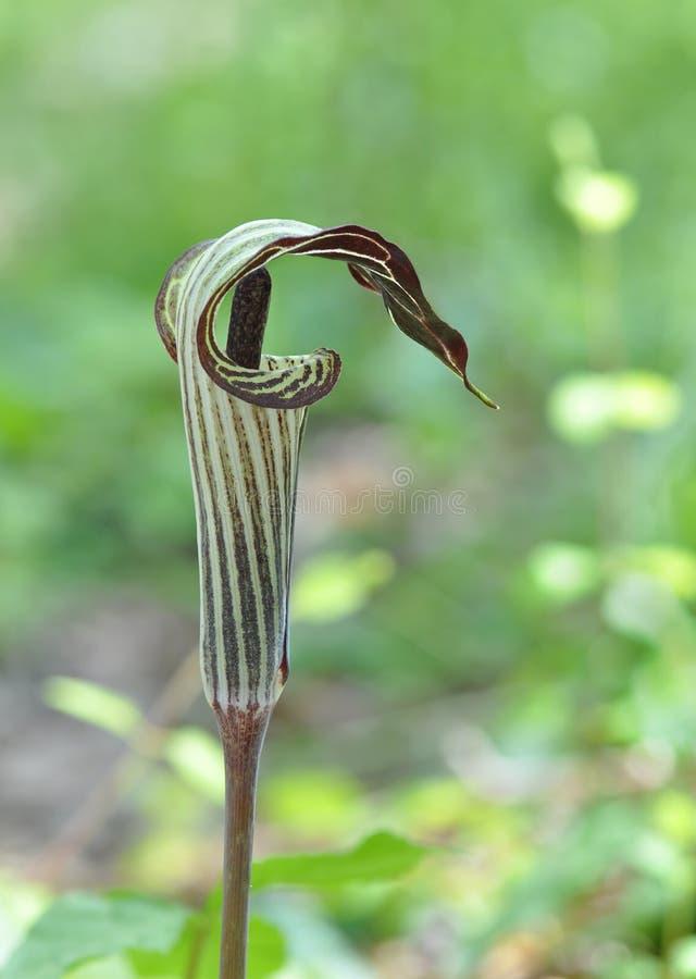 Blume von Jack-in-d-Kanzel oder Arisaema triphyllum lizenzfreie stockfotografie