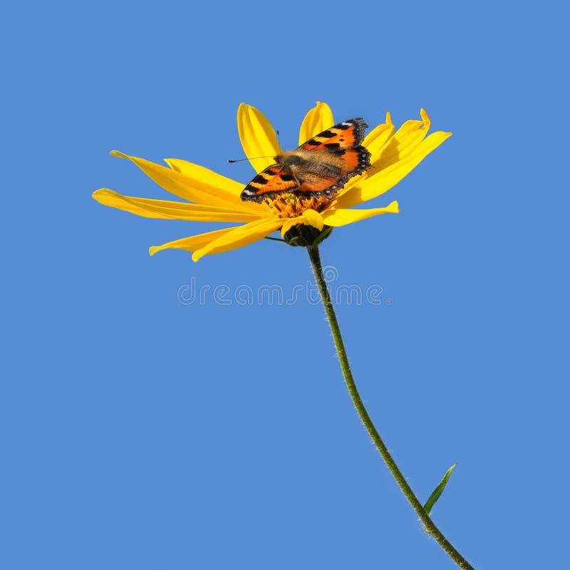 Blume Von Kanada-popato Und Basisrecheneinheit Lizenzfreie Stockfotos