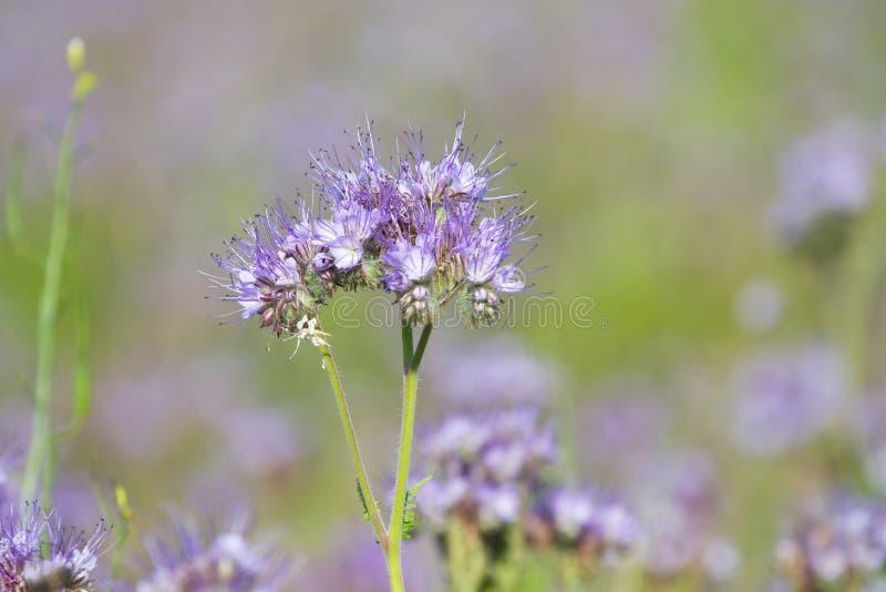 Blume von Lacy Phacelia Tanacetifolia stockfotos