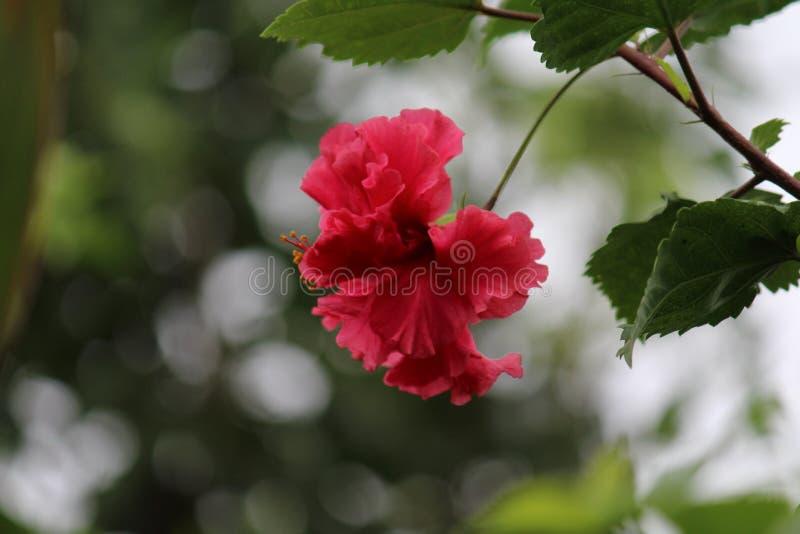 Blume von Manipur lizenzfreie stockfotos