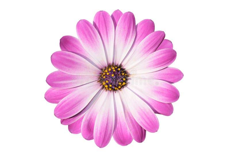 Blume von osteospermum lizenzfreies stockbild