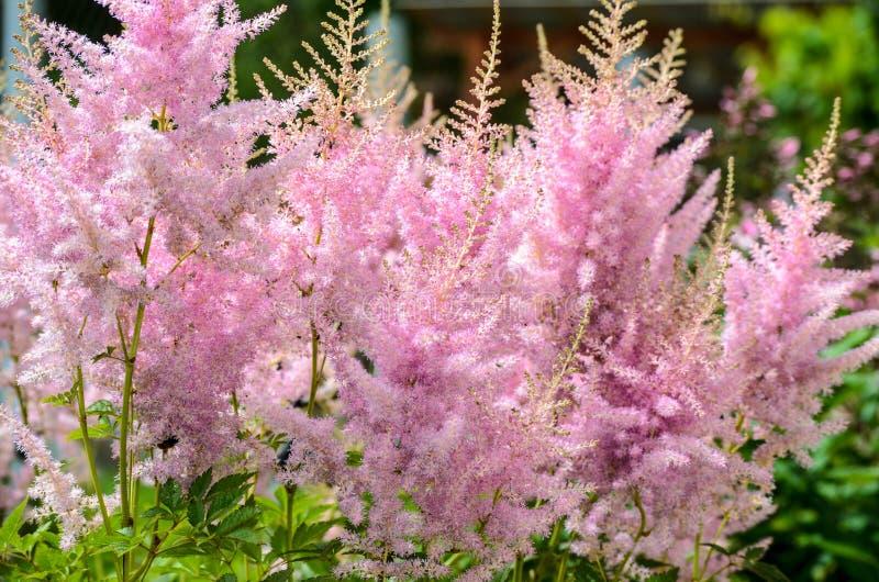 Blume von rosa Astilbe lizenzfreie stockfotografie