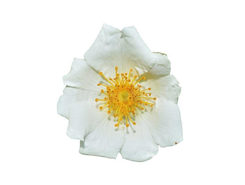 Blume weißen Brier 5 lizenzfreies stockfoto