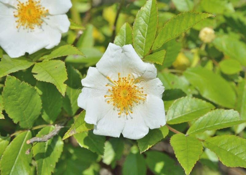 Blume weißen Brier 6 lizenzfreie stockfotografie