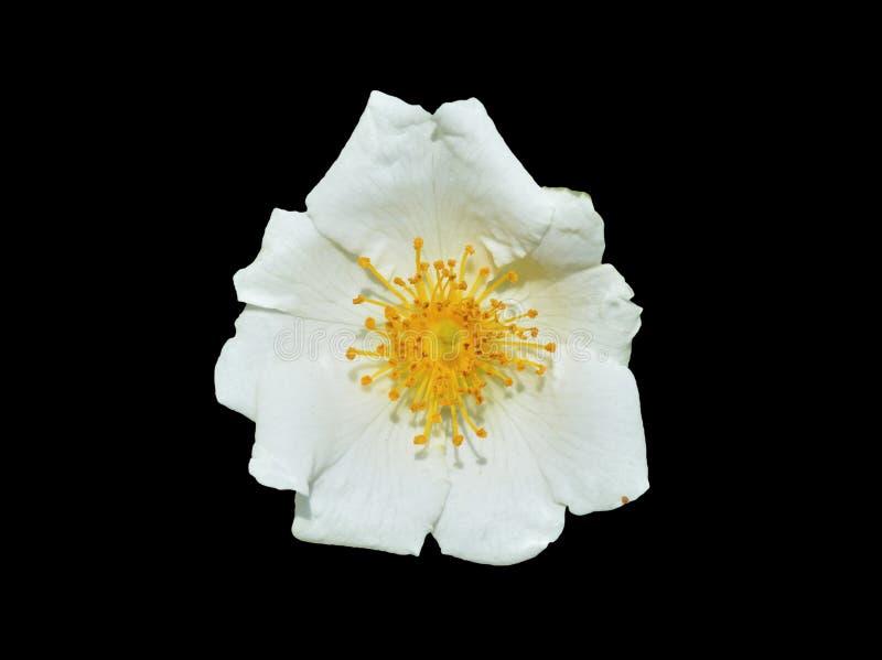 Blume weißen Brier 3 stockbild