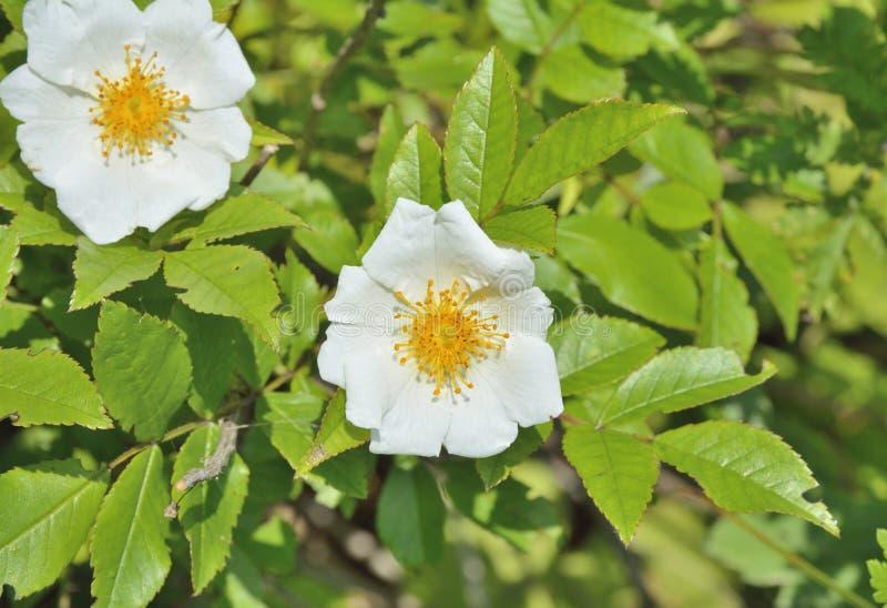 Blume weißen Brier 1 stockbilder