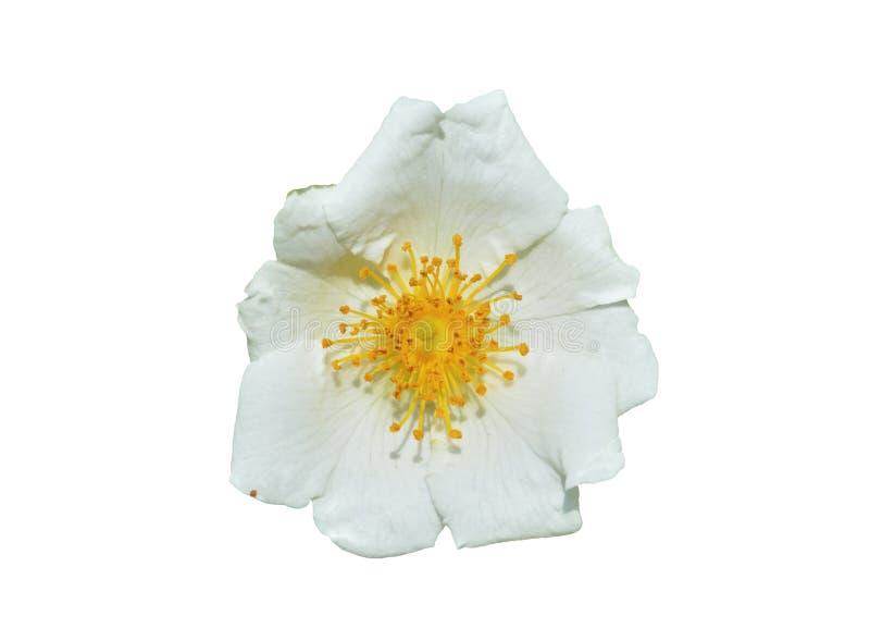 Blume weißen Brier 4 lizenzfreie stockbilder