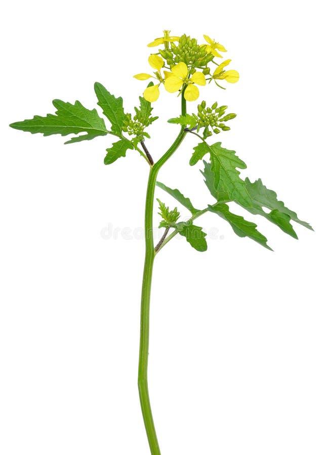 Blume weißer Senf Sinapis alba lizenzfreie stockbilder
