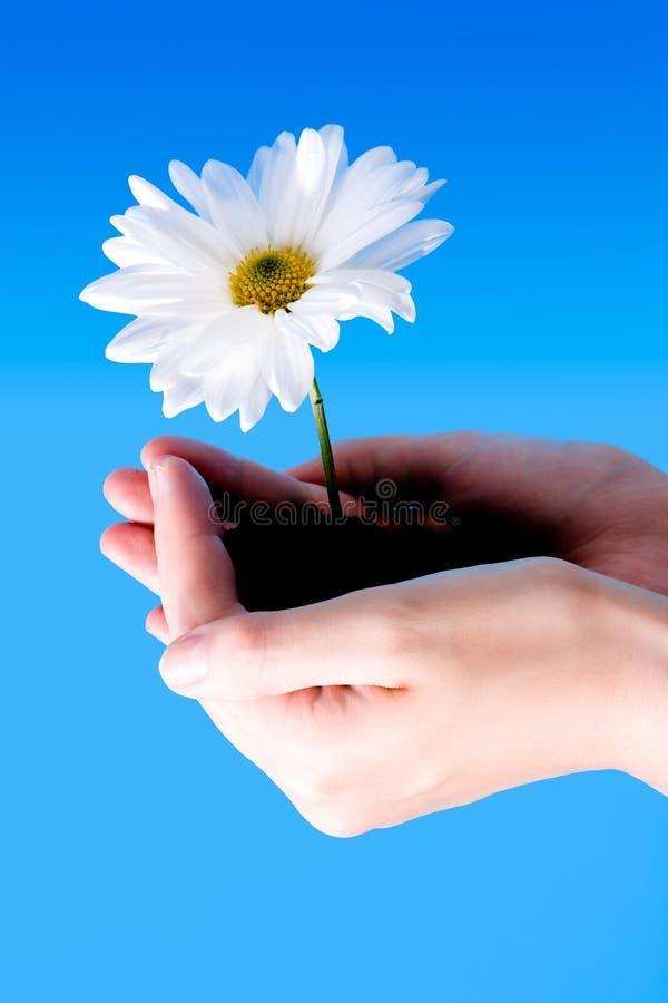 Blume zwischen Händen stockfotos