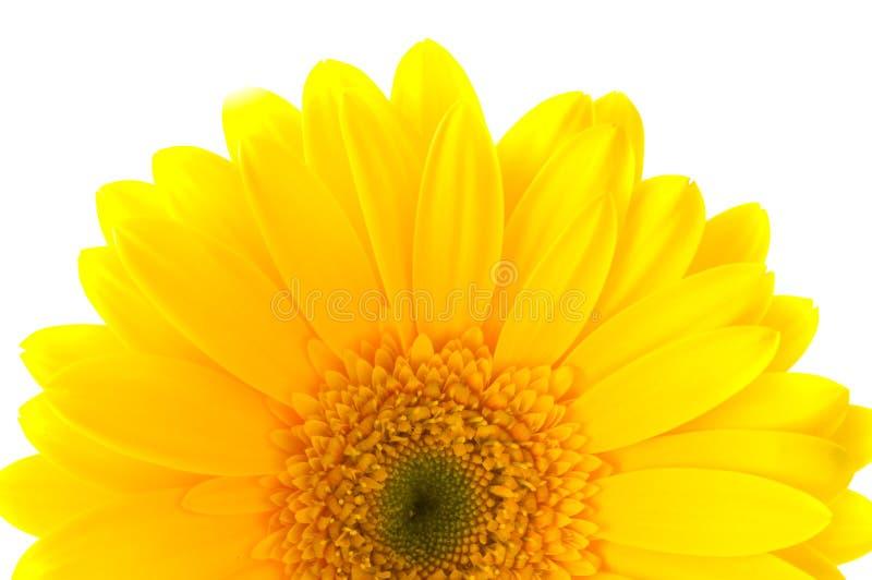 BlumeGerbera. lizenzfreies stockbild