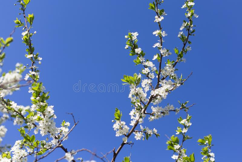 Blumen auf blühender Niederlassung des Kirschbaums auf Hintergrund des blauen Himmels lizenzfreies stockfoto