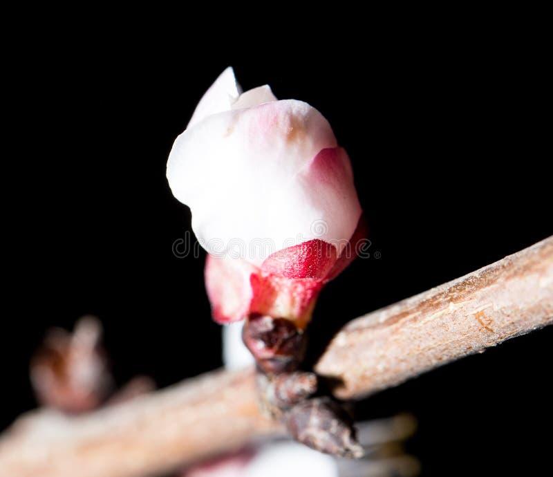 Blumen auf dem Baum in der Natur auf einem schwarzen Hintergrund Makro lizenzfreie stockfotografie