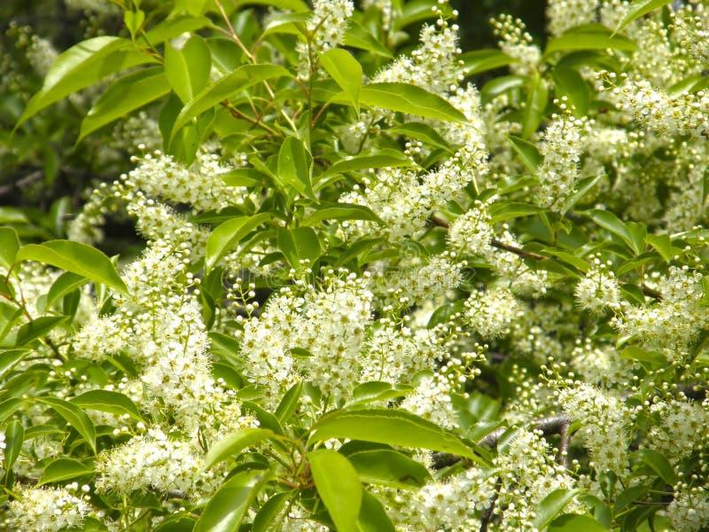 Download Blumen auf dem Lorbeerbaum stockbild. Bild von blumen - 96927309