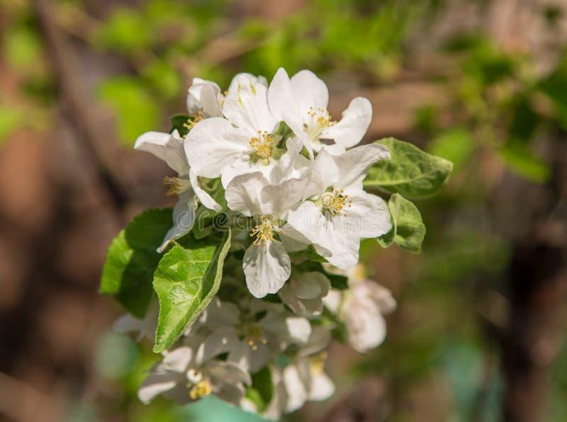 Blumen auf einem Obstbaum im Frühjahr stockbild