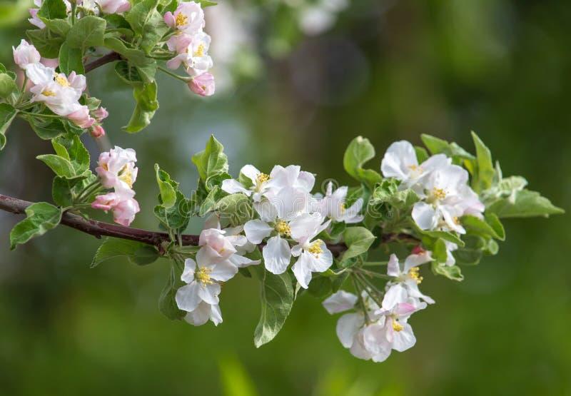 Blumen auf einem Obstbaum im Frühjahr lizenzfreie stockfotos