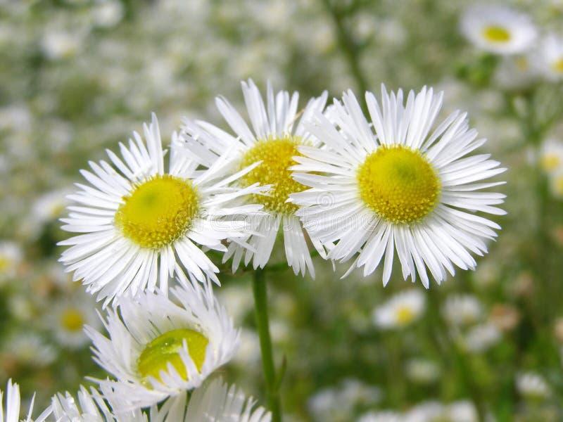 Blumen auf Wiese - nahes hohes lizenzfreie stockfotografie