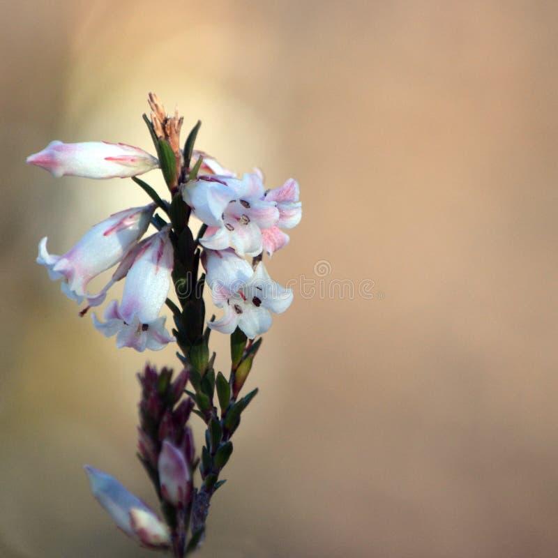 Blumen australischen geb?rtigen Stumpf-Blatt Heide, Epacris-obtusifolia lizenzfreie stockfotografie