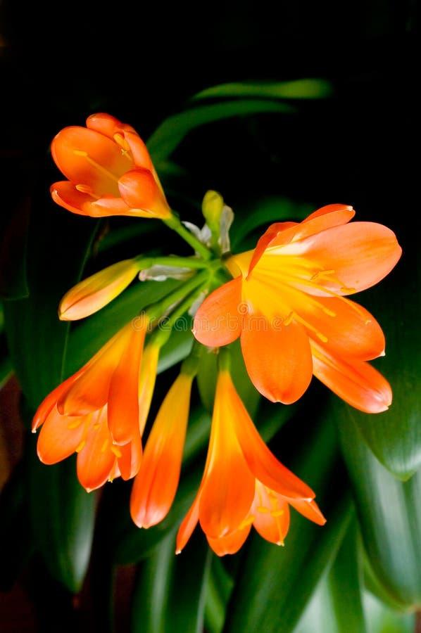 Blumen Clivia. lizenzfreies stockbild