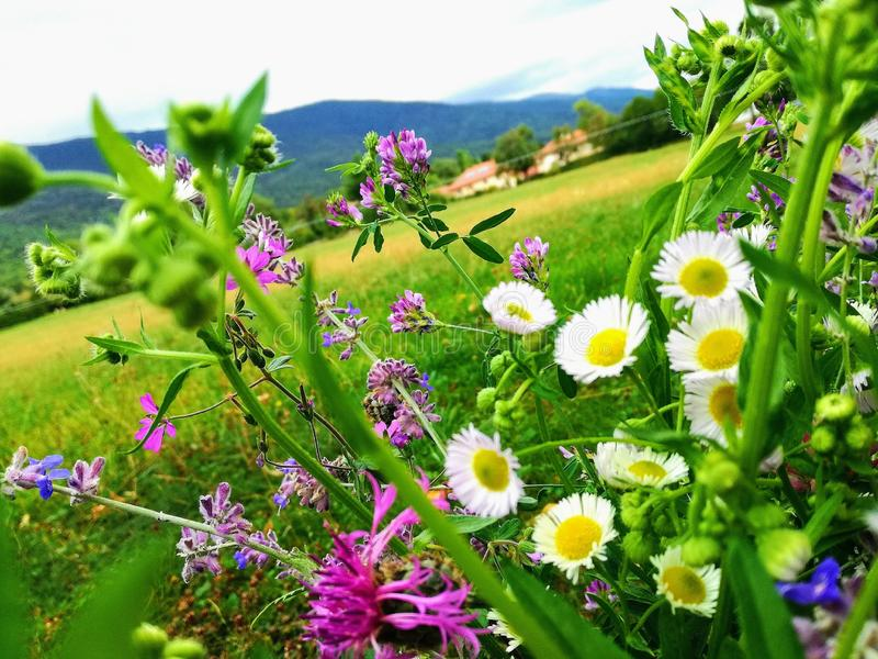 Blumen in den Bergen stockbild