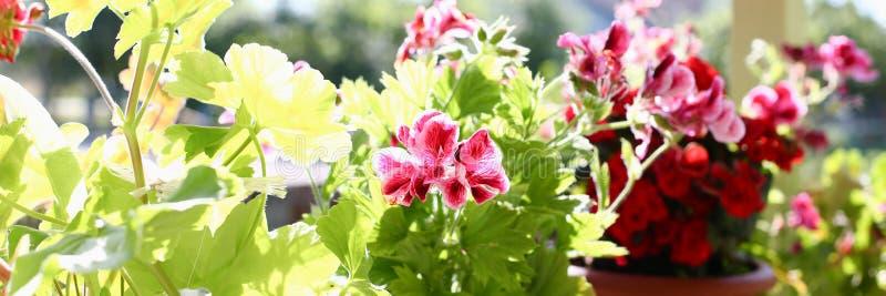 Blumen in den Töpfen auf dem Balkonfensterbrettfenster-Frühlingshintergrund stockbilder