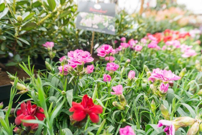 Blumen in den Töpfen in einer Linie in einem grünen Haus lizenzfreies stockfoto